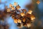 amberladley-hydrangea-winter