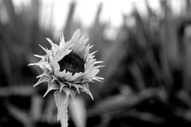 amberladley-black-white-sunflower-08212014